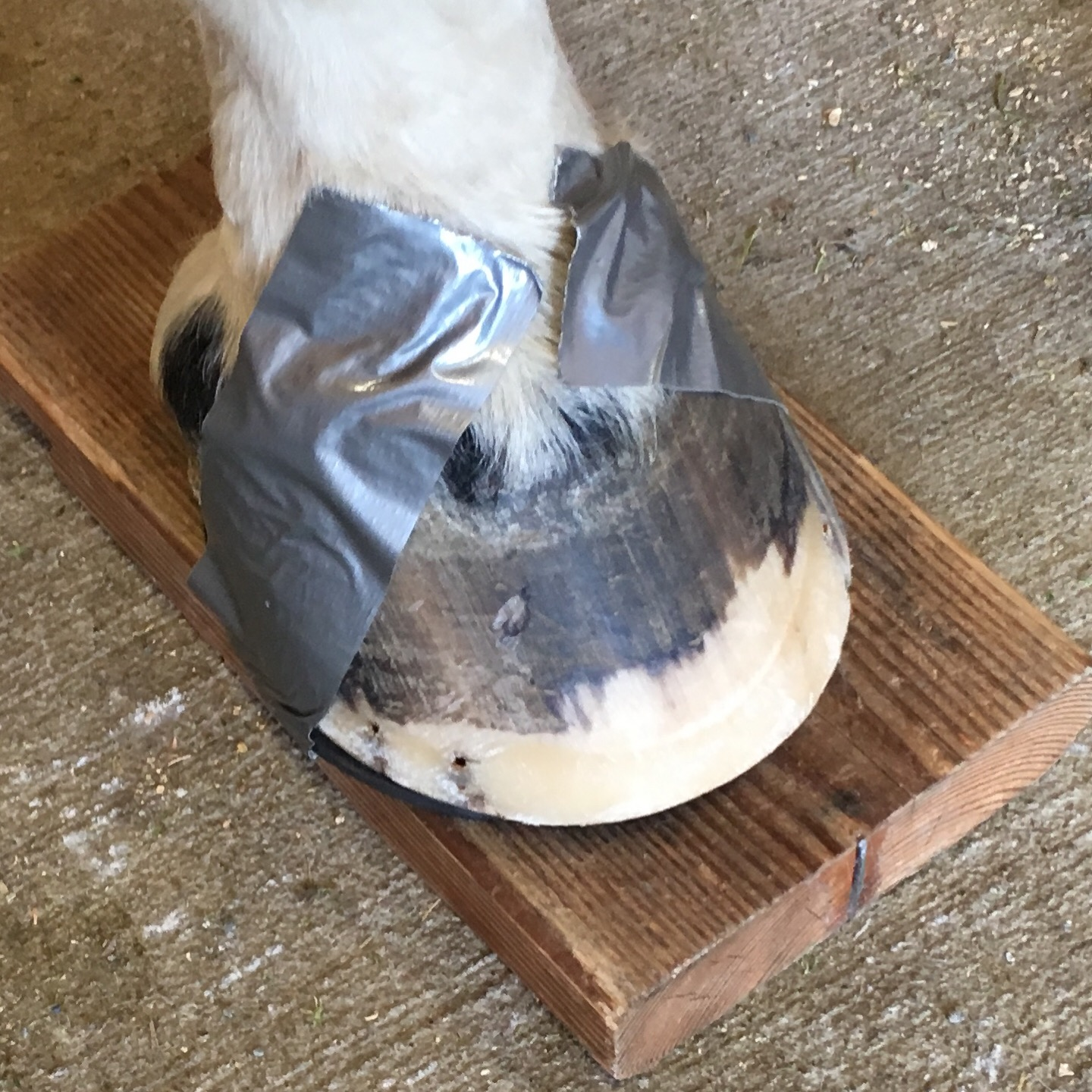 Dallys foot, horse, hoove, foot, shoes and pads, navicular
